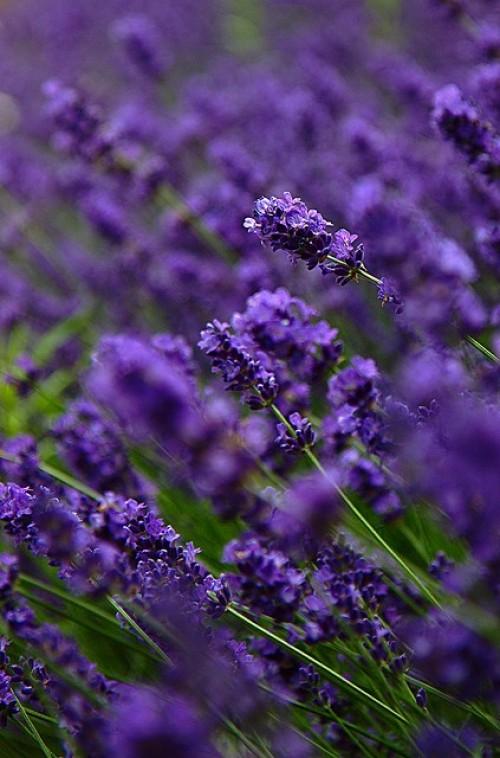a1sx2_Thumbnail1_blu-tende-viola14.jpg